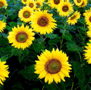 Sunflower Giant Yellow Single - 300 seeds